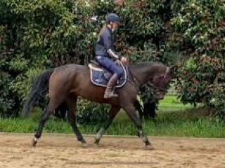 7 Year old Stock Horse
