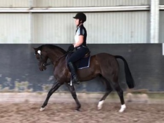 Dressage or Show Pony - 13hh RP Mare 11 years