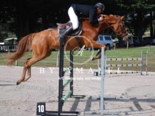 Beautiful Warmblood Mare