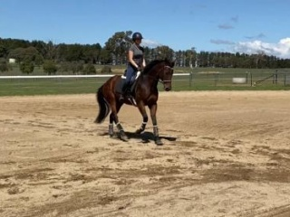 Unraced Quiet eventing or showjumping Mount