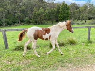 Striking coloured filly for sale