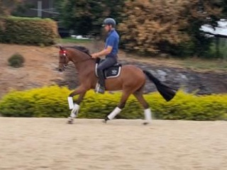 STUNNING GALLOWAY - SUPER DRESSAGE PONY PROSPECT