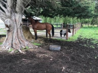 16hh beautiful bay gelding