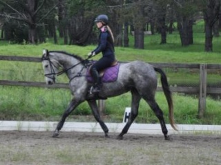 Serious Competitive Prospect - 5y Grey WB/ISH Mare