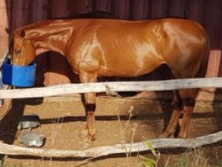 Retired TB gelding for companionship