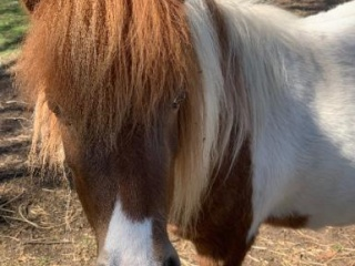 Miniature Pony Mare