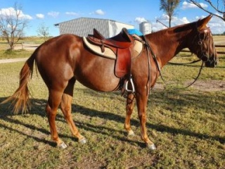 Quarter Horse Filly