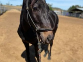 Beautiful black 3 year old Filly