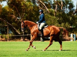 Talented Warmblood Gelding