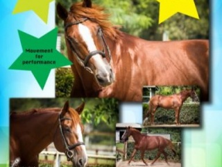 A true gentleman - WB Stallion for Sale