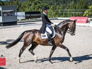 9 Year Old Hanoverian Warmblood Gelding