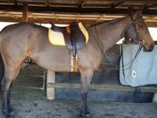 Sound, Reliable, Honest Mare - Holly