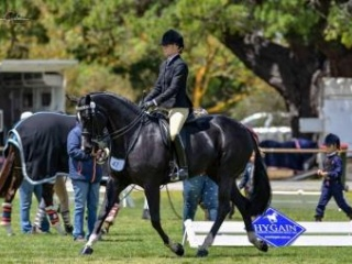 Stunning Mare for Dressage and Showing