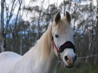 FOR SALE ! Purebred Arabian Gelding