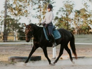 Quiet Trainable Quarter horse allrounder gelding