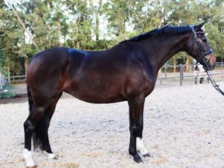Charmeur Broodmare/ Cheap Riding Horse