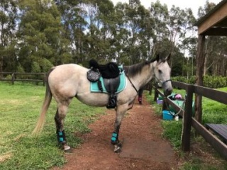 Handsome Grey Gelding SOLD