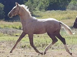 Powerhouse palomino Daiquiri GF x Belissimo/Jazz