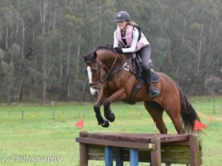 Ideal Eventing or Dressage Horse