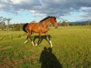 Flashy Bay Thoroughbred Gelding