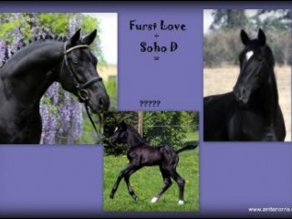 2in1! Black Sandro Hit mare in foal to Fürst Love
