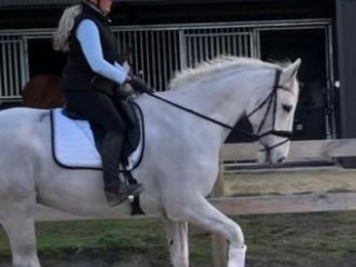 Absolute gentleman for dressage or adult riders WB
