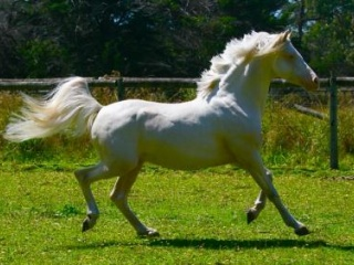 ARP/ section A stallion for sale