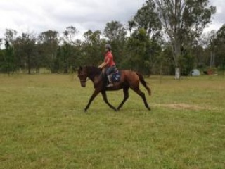 WARREGO HOSTESS - 5yo Warmblood Mare