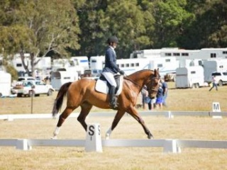Competitive Eventer and Dressage Warmblood