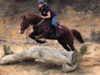 Athletic 9yo TB gelding