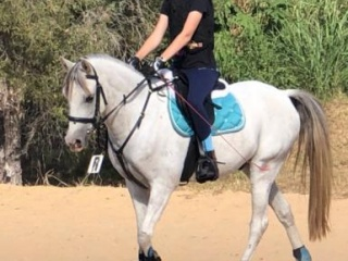 """AUSSIE"" Great All Rounder Gelding"