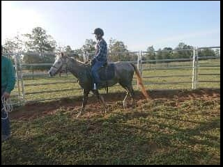 Welsh x qh Grey gelding 4yr old broken in.