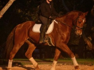Striking Warmblood-Needs to go Open to offers