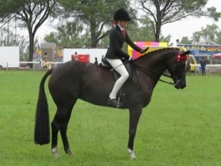 Stunning Warmblood Mare - Show or Dressage!