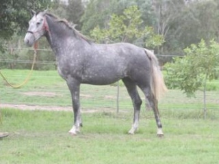 Contendro's Bube mare in foal to Sezuan