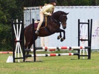 Educated Bay Stockhorse Mare