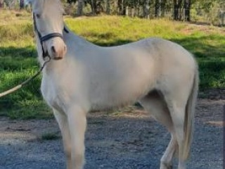 Price Reduced - Cremello Riding Pony