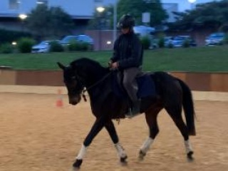 Dressage/showing potential