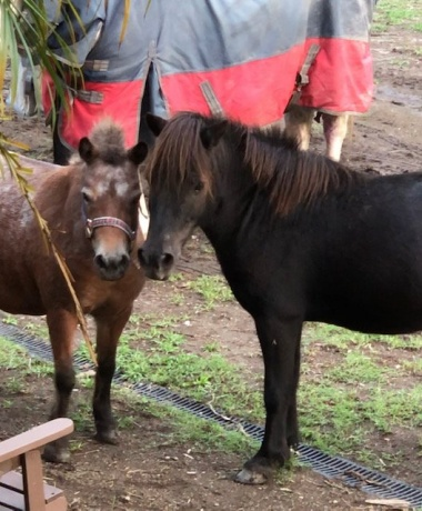Ponies - Miniature Horse/Pony in New South Wales