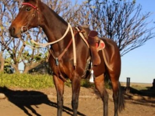ATTRACTIVE POLOCROSSE & ALLROUNDER; HSH BREEDING