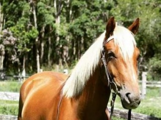 Wanted: Pony club And Competition Mount