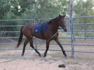 Led show horse or broodmare