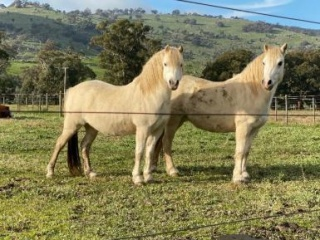 Welsh Mountain Mares