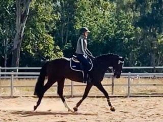 Gorgeous TB gelding a dream to ride