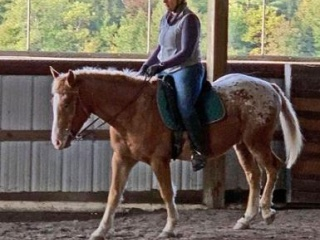 Steady Young American Curly Gelding