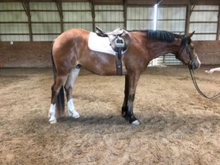 Flashy, Quiet Sporthorse Clydesdale/Thoroughbred