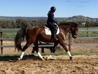 PRICE REDUCED - Handsome Andalusian/WB gelding