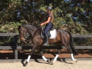 Super flashy Warmblood gelding