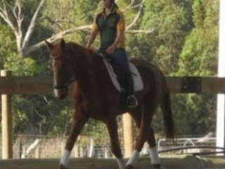 17.2 Warmblood mare