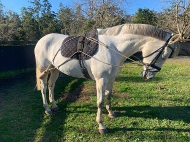 Talented, Competitive & Eye-catching ISH Mare